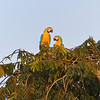 two blue and yellow macaws in treetop