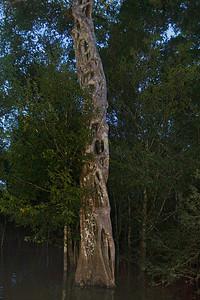 strangler vine engulfing tree