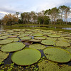 Victoria lily pads