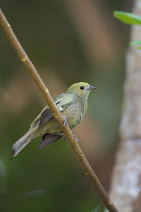 perched Palm tanager