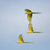 three blue and yellow macaws in flight