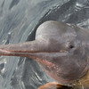 portrait of a pink dolphin