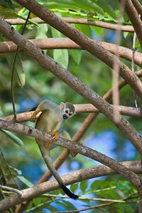 scratching squirrel monkey