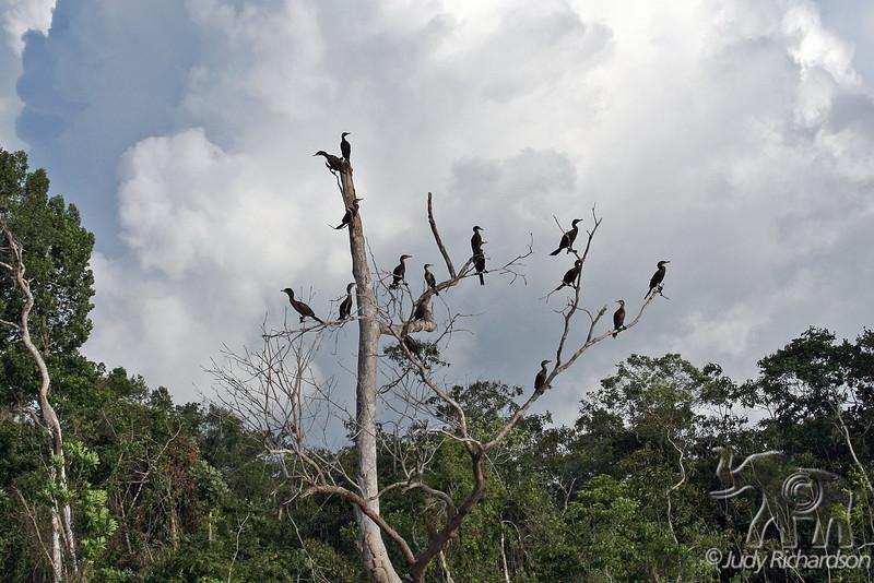 Tree of Cormorants