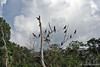 Tree of Cormorants