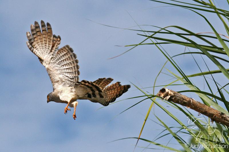 Roadside Hawk in flight
