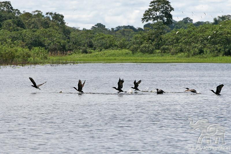Cormorants flying