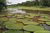 Giant Lily Pads in an Amazon stream