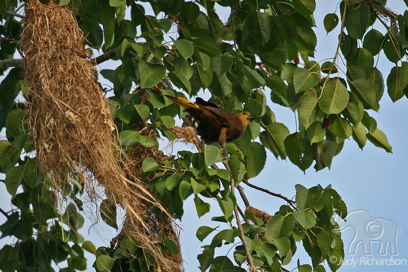 Oropendola bird & nest
