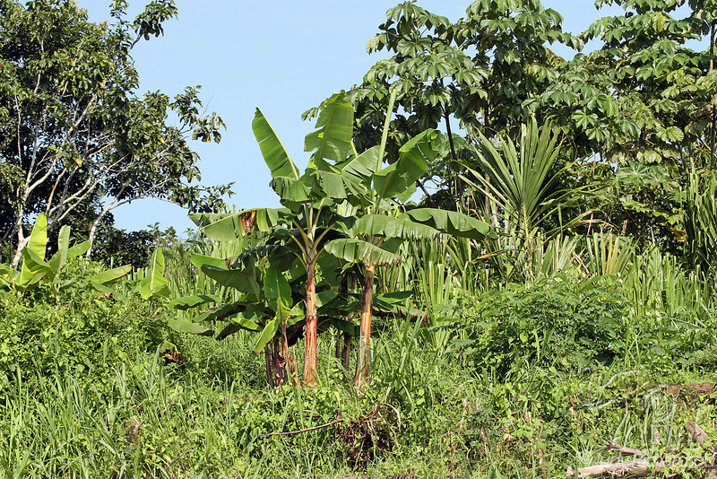 Vegetation on the Amazon