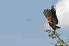 Black-collared Hawk taking off