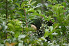 Black-capped Gonacobius