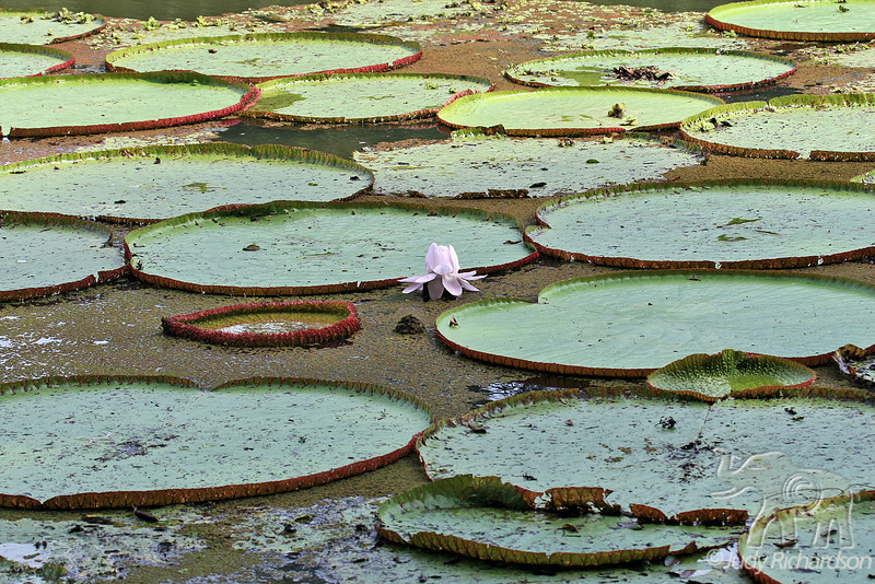 Giant Amazon Lily Pads