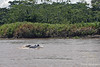 Dolphins along muddy Amazon