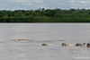 Dolphins in muddy Amazon