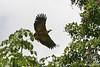 Black-collared Hawk in flight
