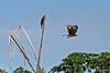 Yellow-headed Caracara in flight
