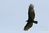 Yellow-headed Vulture in flight