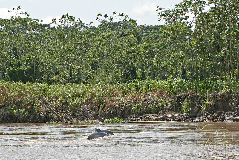 Dolphins in Amazon