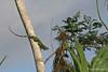 Green Tree Iguana