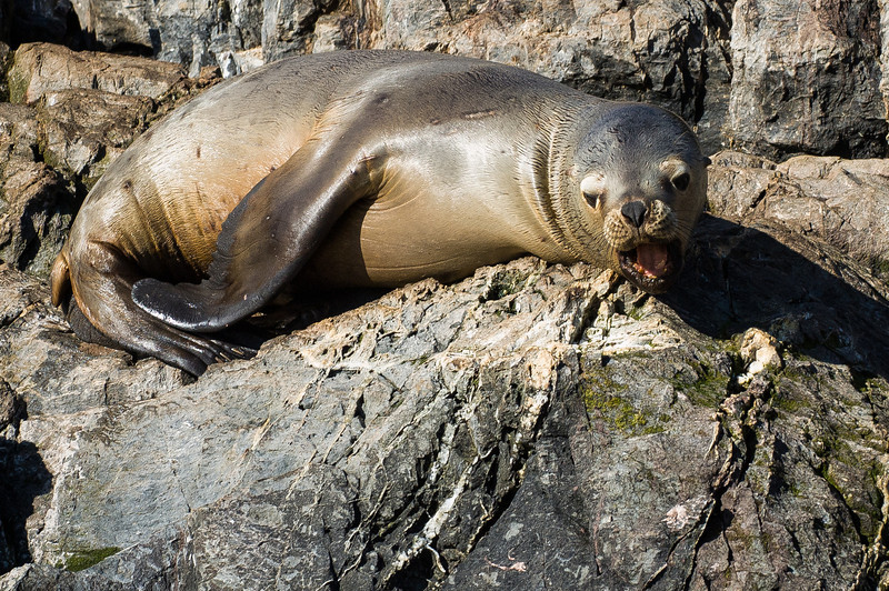 Sea Lion - Beagle Channel, Argentina