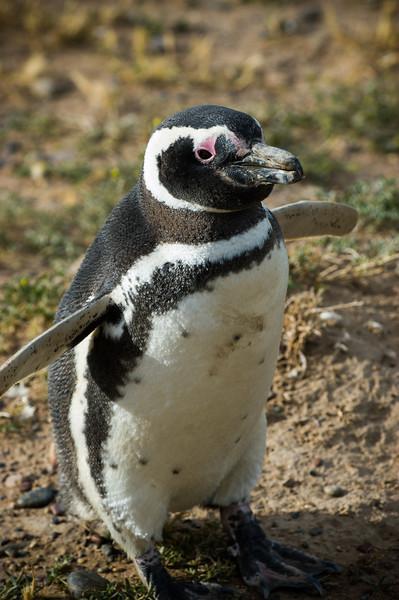 Magellanic Penguin - Peninsula Valdes, Argentina