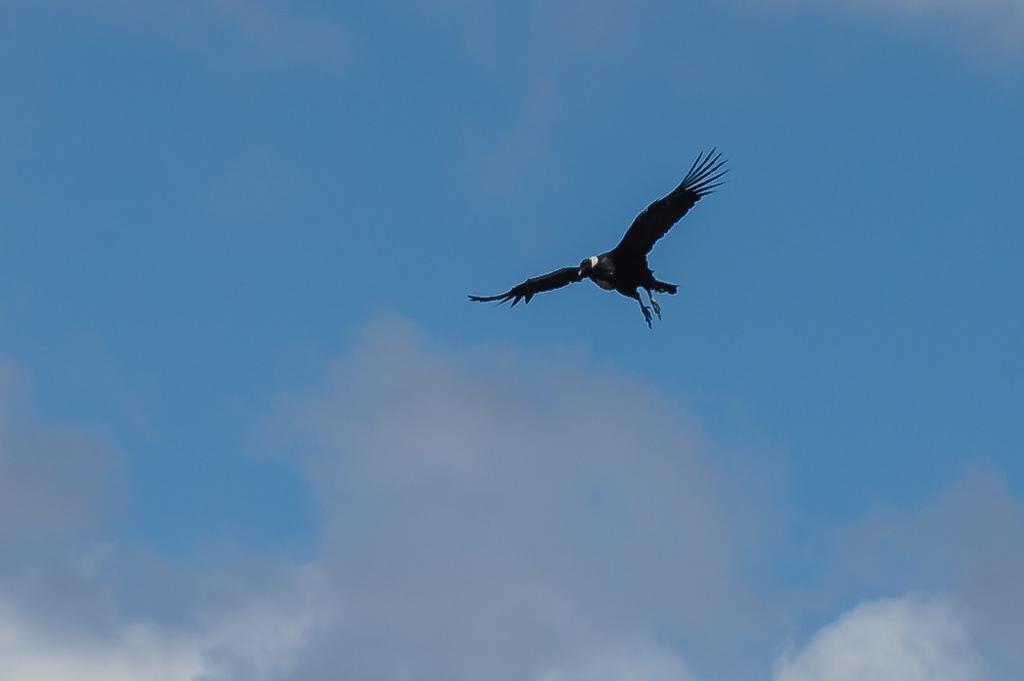 Condor - Parque Nacional Quebrada Del Condorito - Argentina