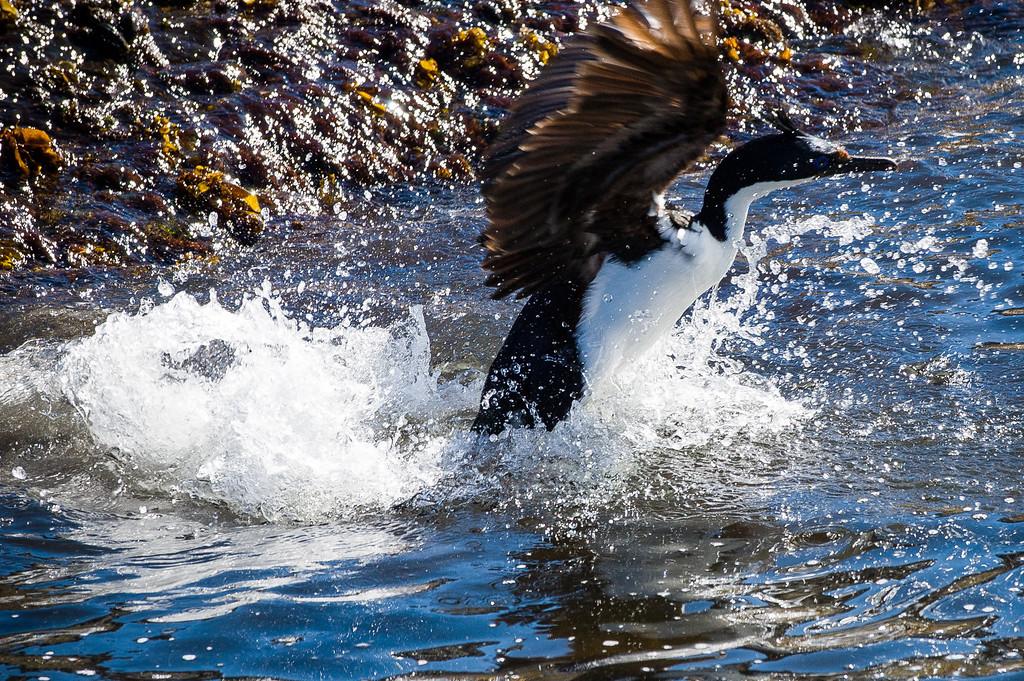 Cormorant - Beagle Channel, Argentina