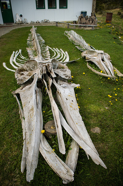 Whale Skeleton, Marine Museum  - Beagle Channel