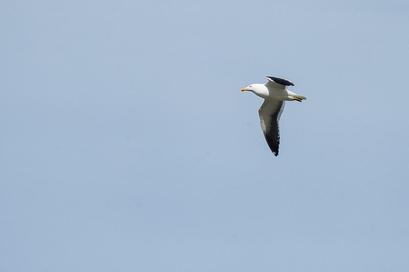 Kelp Gull - Peninsula Valdes, Argentina