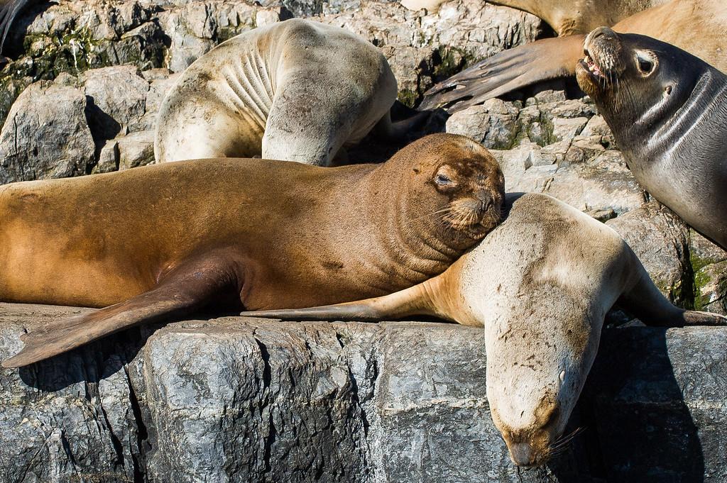 Sea Lions - Beagle Channel, Argentina