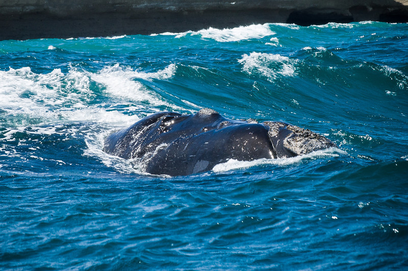 Southern Right Whale - Peninsula Valdes, Argentina