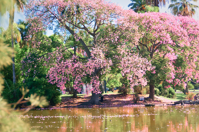 Botanical Gardens, Buenos Aires, Argentina.Pink flowering trees. Several names for this tree: pink tabebuia, tabebuia rosa, pink ipe, lapacho rosado, tabebuia impetiginosa. Beautiful trees that bloom all around Buenos Aires in the Spring.