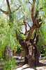 Gnarled Tree, Buenos Aires, Argentina