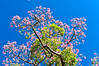 Botanical Gardens, Buenos Aires, Argentina. Pink flowering trees. Several names for this tree: pink tabebuia, tabebuia rosa, pink ipe, lapacho rosado, tabebuia impetiginosa. Beautiful trees that bloom all around Buenos Aires in the Spring.