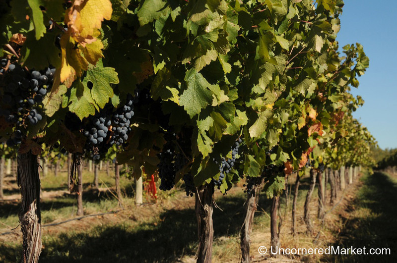 Vineyards in the San Patricio del Chañar Region Outside Neuquen, Argentina