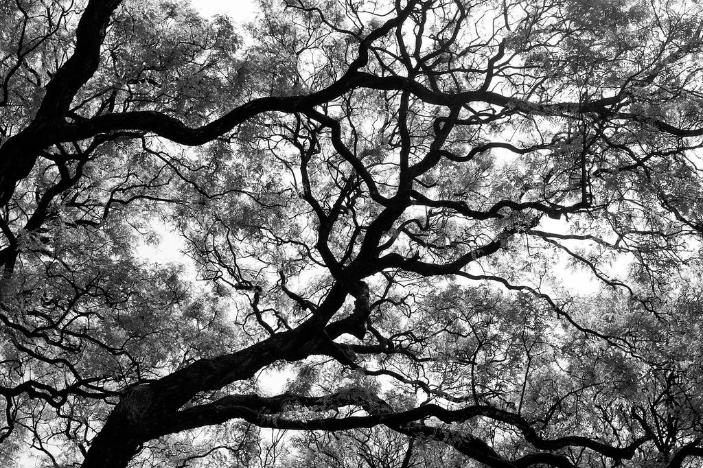 Veiny jacaranda trees. November 2016