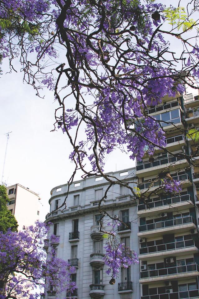 Spring Jacaranda trees. November 2016
