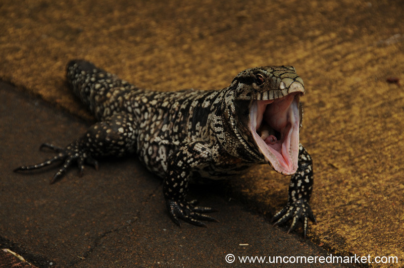 Ferocious Black and White Tegu - Iguazu Falls, Argentina