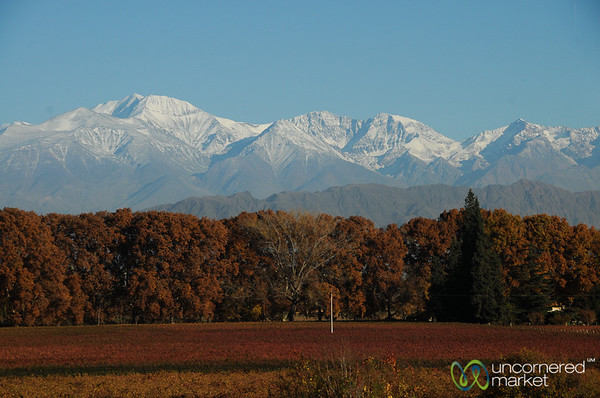 Fall Colors at the Vineyards Near Mendoza on the Way to Santiago - Argentina/Chile