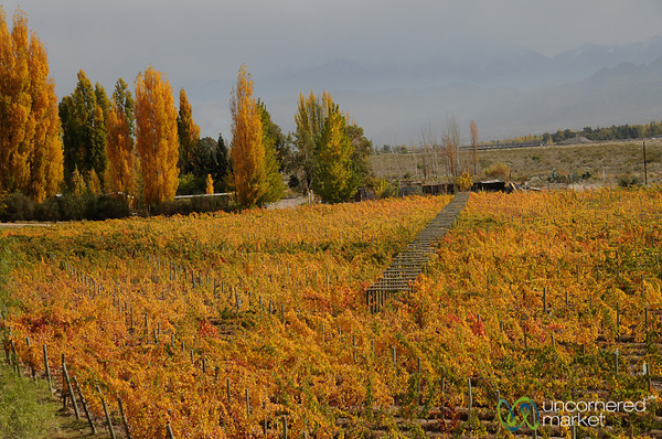 Autumn Leaves in the Vineyard - Mendoza, Argentina