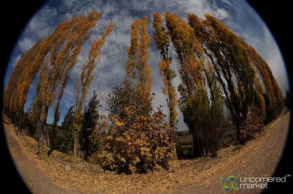 Fisheye View of Cyprus Trees in Autumn - Mendoza, Argentina