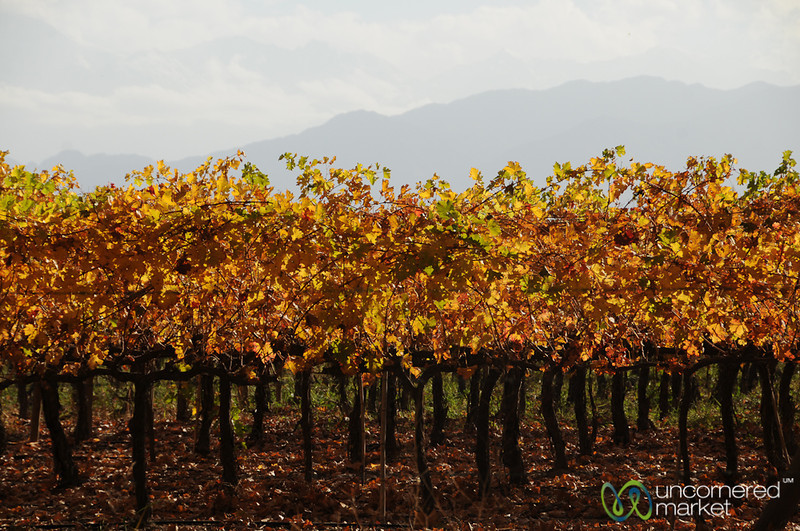 Autumn in the Vineyards of Mendoza, Argentina