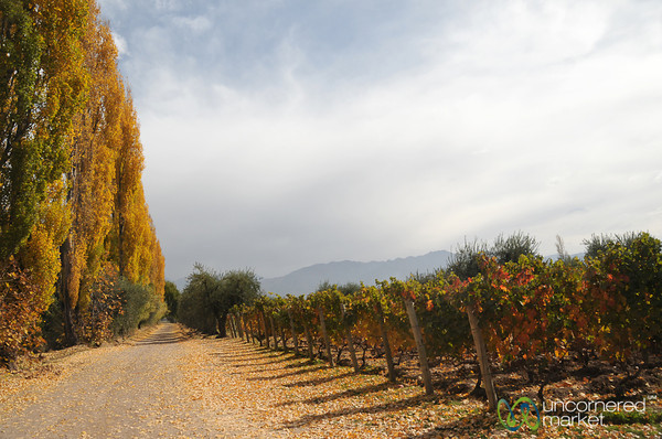 Autumn in the Vineyards - Mendoza, Argentina