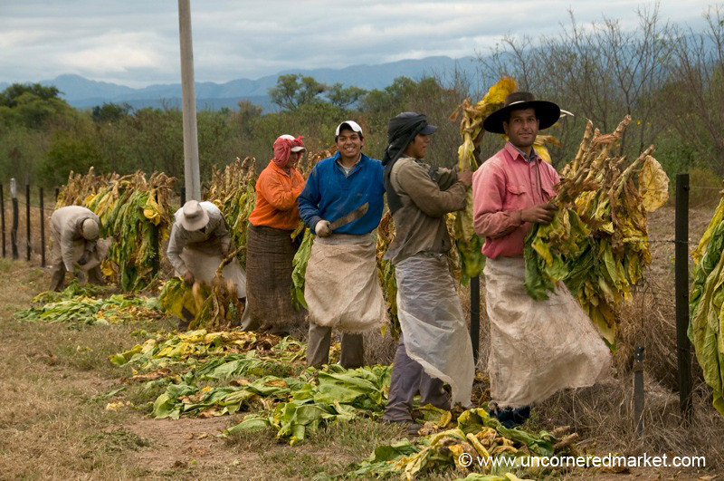 Cleaning and Hanging Tobacco - Outside Salta, Argentina
