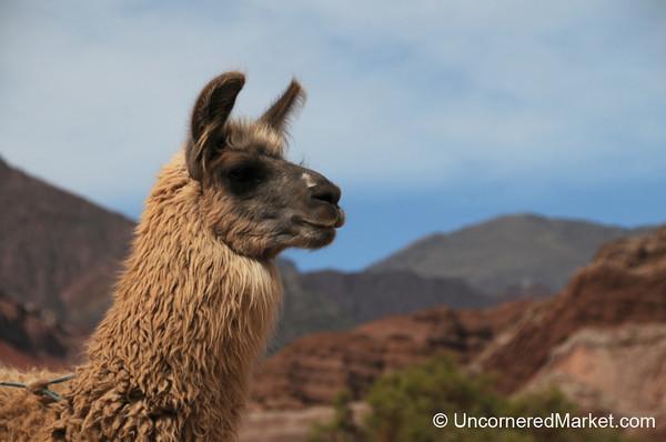 A Llama Profile Shot - Northwestern Argentina