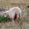 Estancias Sheep