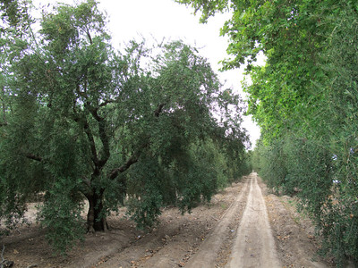 Olive Orchard in Maipu