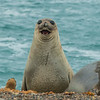 Southern Elephant Seal(Mirounga leonina)/Sea Lion(Otaria flavescens) - Peurto Piramides NP, Peninsula Valdes, Chubut, Patagonia, Argentina