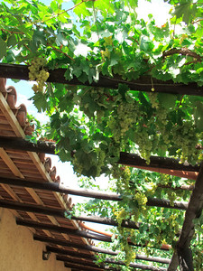 Grape Trellis at Posada Cavieres